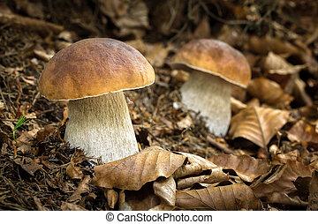 cogumelos, comestível, edulis, boletus