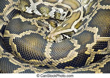 Burmese Python - Coiled Burmese Python (Python molurus...