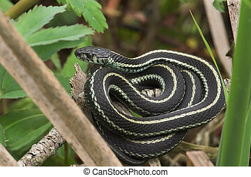 Coiled - Garden Snake at a state park, near Seattle, ...