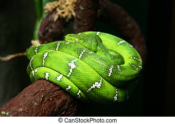 Coiled Snake - Striking green snake coiled up on a branch