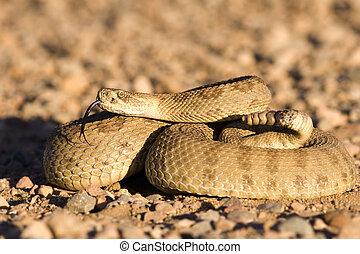 Coiled up rattlesnake sunning on a gravel road