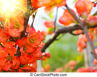coing, fleurir, jardin