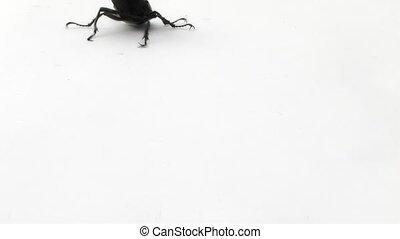 coléoptère, cerf