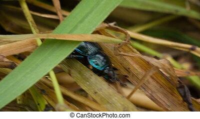 coléoptère scarabée