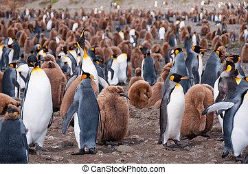 colônia, pingüim, rei