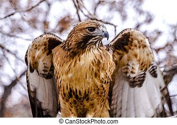 cola, ajuste, invierno, halcón, rojo