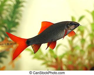 cola, pez, bicolor), (labeo, rojo, acuario, tiburón, hermoso