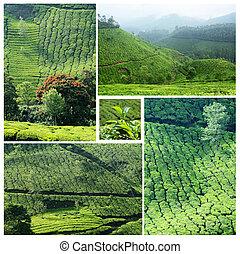 colagem, de, famosos, munnar, plantações chá
