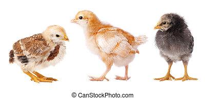 colagem, galinhas, isolado, experiência., pequeno, pintinho, branca