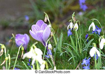 colchique, et, perce-neige, fleurs