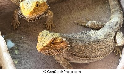 cold blooded Pogona Vitticeps drinking - Pogona Vitticeps...