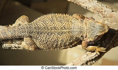 cold blooded Pogona Vitticeps - Pogona Vitticeps also called...