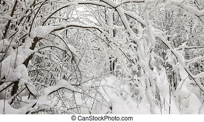 Cold day in snowy winter forest - Landscape of winter forest...