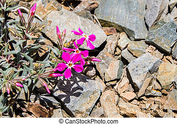 Cold desert phlox (Phlox stansburyi) growing at high altitude, in the mountains of Death Valley National Park, California