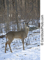 cold doe - whitetail doe in a snow covered forest in winter