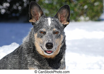 Cold Dog - cattle dog in the snow