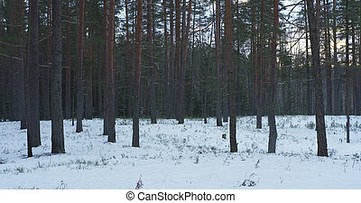 cold winter evening in pine forest