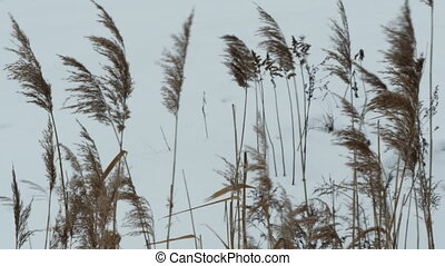 Cold winter wind wind swaying dry plants camera in motion