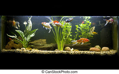 coldwater fish tank with goldfish