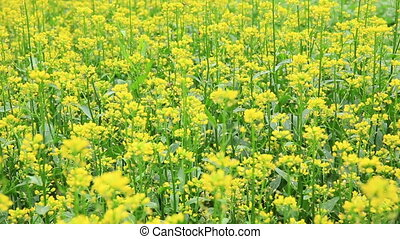 cole flower vegetable garden