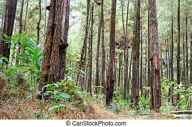 colección, de, árboles de pino