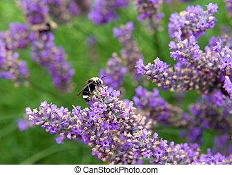 colecionar, bumble, lavanda, francês, pólen abelha, flores