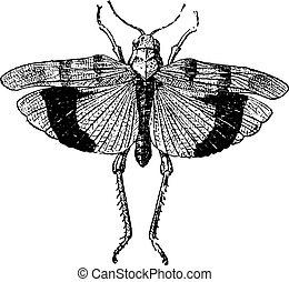 coleopteres, acrid., engraving., vendimia