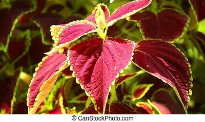 Vibrant red, green leaves of the coleus plant sunlit garden scene, panning close up shot.