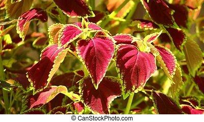 Vibrant red, green leaves of the coleus plant sunlit garden scene, static detail close up shot.