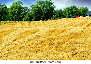 colheita, grão, campo