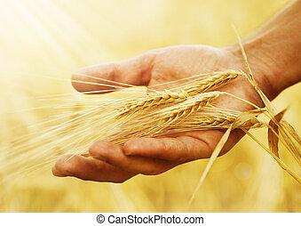 colheita, mão., conceito, trigo, orelhas