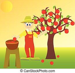colheita, maçã