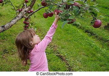 colheita, maçãs