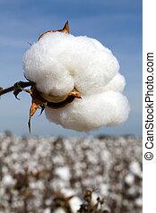 colheita, pronto, algodão, boll