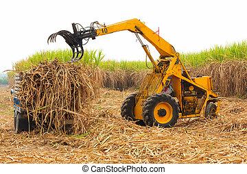 colheita, sugarcane.