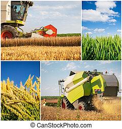 colheita trigo, -, colagem