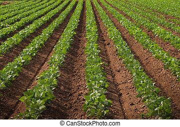 colheitas, agrícola, terra, fila