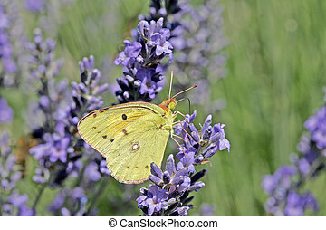 Colias butterfly on Lavender flower