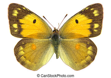 Colias croceus - female of Dark Clouded Yellow (Colias...