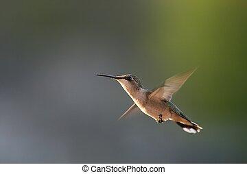 colibrì, volo