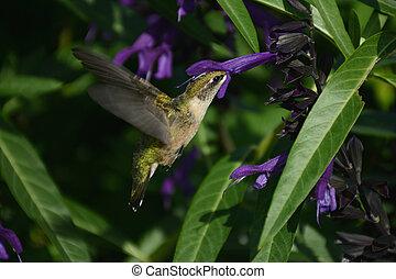 colibrí, ala, acción