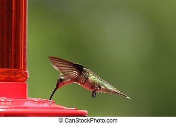 colibrí, alimentación, 2