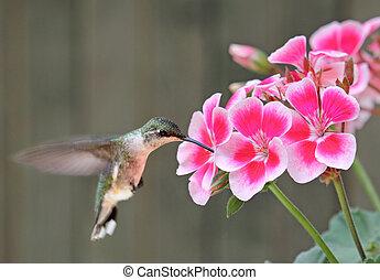colibrí, alimentación