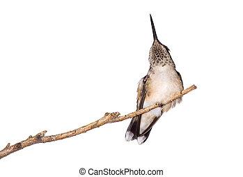 colibrí, alivia, itself, de, un, picazón