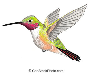 colibrí, broad-tailed