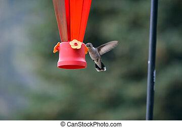 colibrí, en, alimentador