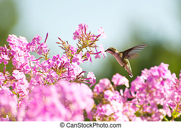 colibrí, en, flowers.