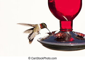 colibrí, en vuelo