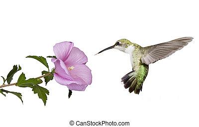 colibrí, flotadores, debajo, un, mariposa, arbusto