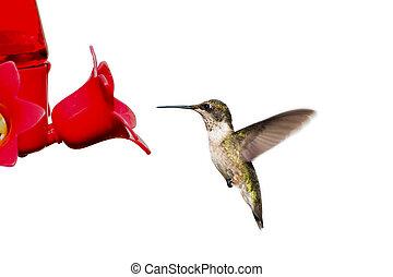 colibrí, flotadores, en, alimentador